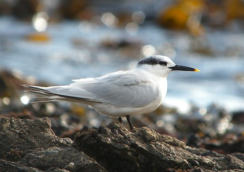 "Sandwich Tern, Falmouth, 191013 (J.Rowe) • <a style=""font-size:0.8em;"" href=""http://www.flickr.com/photos/30837261@N07/10377461584/"" target=""_blank"">View on Flickr</a>"
