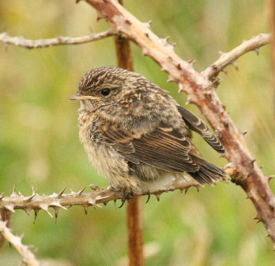 """Stonechat • <a style=""""font-size:0.8em;"""" href=""""http://www.flickr.com/photos/30837261@N07/10723337396/"""" target=""""_blank"""">View on Flickr</a>"""