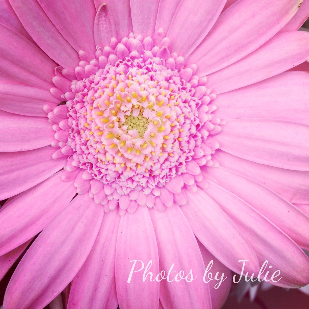 The World S Best Photos Of Pink And Pinky Flickr Hive Mind The World S Best Photos Of Flower And Gebra Flickr Hive Mind