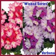 "Verbena ""Wicked series""  — Photo Courtesy Welby Gardens and Hardy Boy Plants"