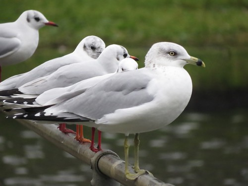 """Ring-billed Gull, Helston Boating Lake, 05.01.15 (J.St Ledger) • <a style=""""font-size:0.8em;"""" href=""""http://www.flickr.com/photos/30837261@N07/16345313511/"""" target=""""_blank"""">View on Flickr</a>"""