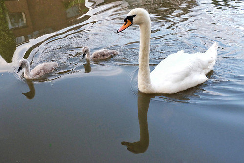 Swans on the river Cam
