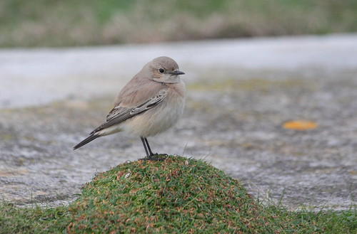 "Desert Wheatear, Porthgwarra, 04.12.14 (M.Halliday) • <a style=""font-size:0.8em;"" href=""http://www.flickr.com/photos/30837261@N07/15802186538/"" target=""_blank"">View on Flickr</a>"