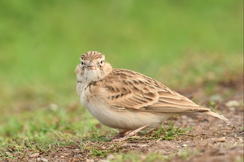 """Short-toed Lark, St Agnes, 14.10.16 (S.Rogers) • <a style=""""font-size:0.8em;"""" href=""""http://www.flickr.com/photos/30837261@N07/29694272174/"""" target=""""_blank"""">View on Flickr</a>"""