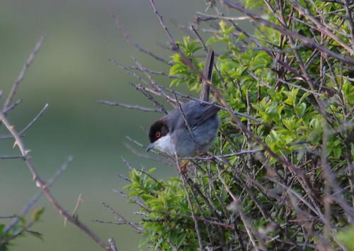 "Sardinian Warbler, Lands End,170515, (M.Halliday) • <a style=""font-size:0.8em;"" href=""http://www.flickr.com/photos/30837261@N07/17702879259/"" target=""_blank"">View on Flickr</a>"