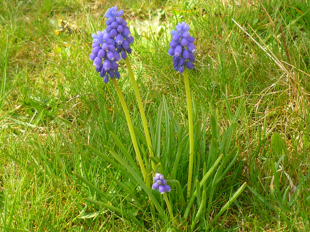 Armenische Traubenhyazinthe The World S Best Photos Of Bulb And Muscari Flickr Hive Mind