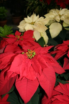Poinsettias at Botanic Gardens