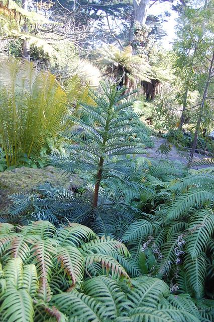 Wollemia nobilis - Wollemia Pine