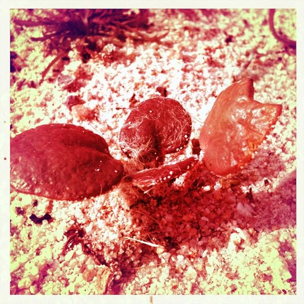 Abronia latifolia - Yellow Sand Verbena