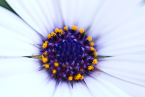 inside of a daisy, taken w/50 mm backwards