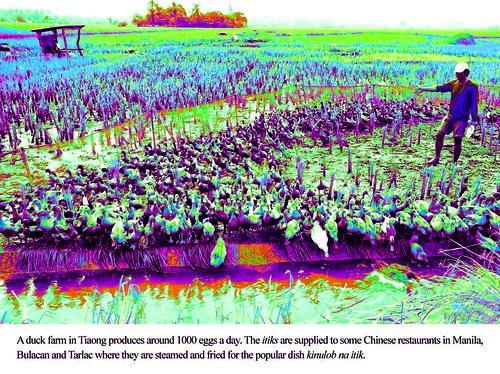 Duck Growing - Tiaong, Quezon