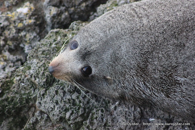 Photo of a new zealand fur seal