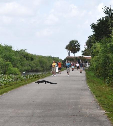 Gator crossing. Shark Valley, Everglades National Park, Feb. 27, 2012