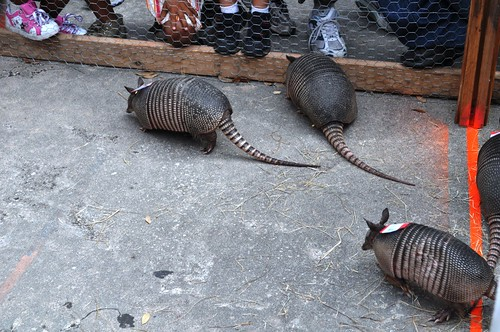 Armadillos Leave the Gate and Race, err Waddle, to the Finish Line