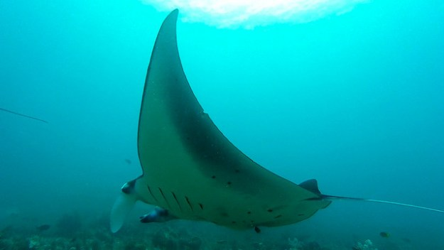 Manta at Makassar Reef. Komodo