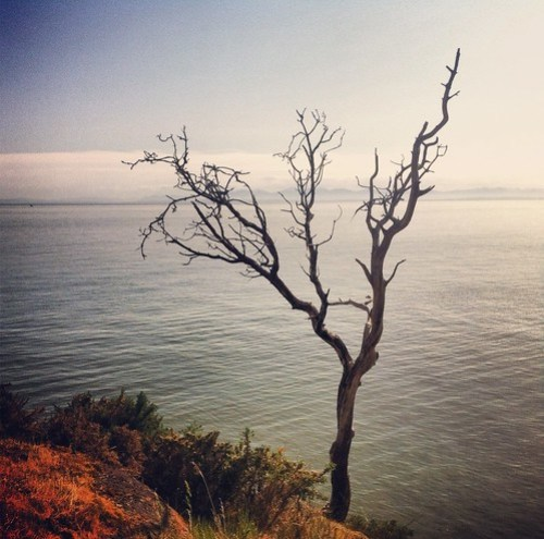 Arbutus tree at the edge of the ocean