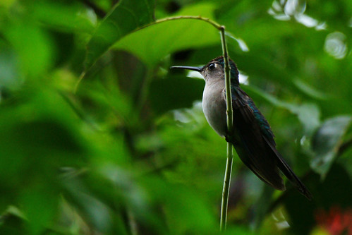 Wedge-tailed Sabrewing by Dave 2x