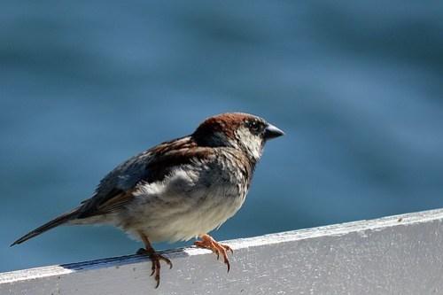 House Sparrow in San Diego