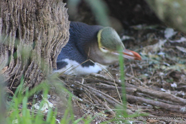 Nesting Yellow Eyed Pengiun
