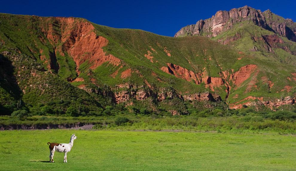 De la familia de los camélidos, un ejemplar descansa en la tranquilidad del valle. Jujuy, Argentina. (Guillermo Morales)