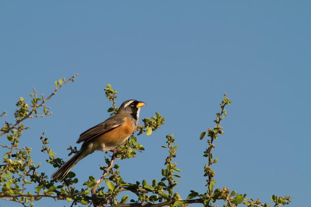 Un Pepitero chico (Saltatricula multicolor) trinaba en un árbol en las primeras horas de la mañana rodeado de una densa vegetación. (Tetsu Espósito)