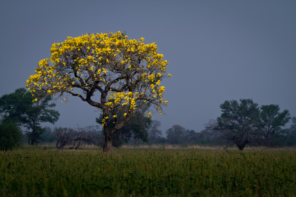 Un Paratodo (Tabebuia nodosa) florece en un campo por el cual transitábamos durante el recorrido por los 60 kilómetros de  caminos de tierra que llevan a varias de las lagunas. (Tetsu Espósito)