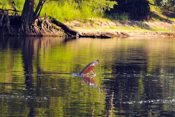 Suwannee River 021