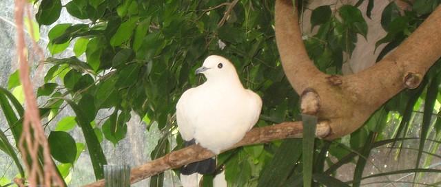 White dove at Newquay Zoo, Cornwall