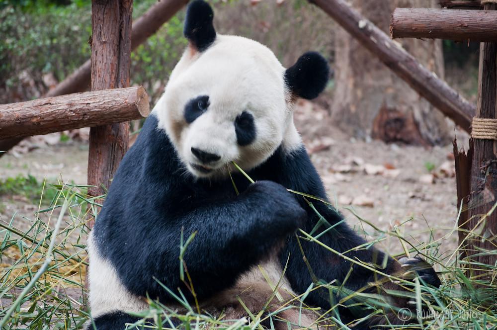 Giant_Panda_eating_Chengdu_Sichuan_China2