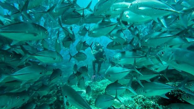 Jackfish closing ranks. Diving Sipadan