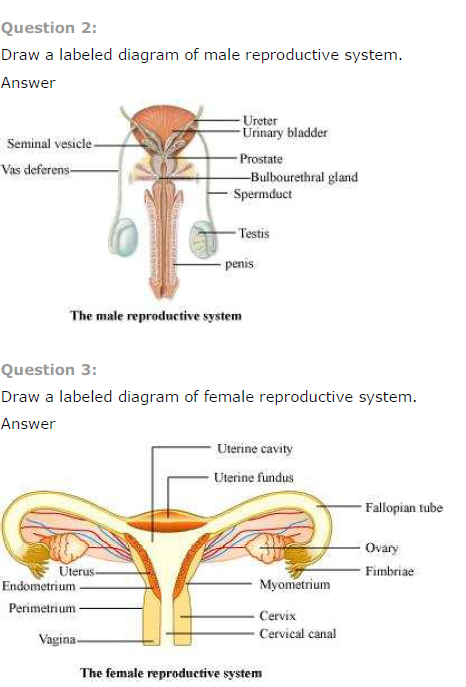 NCERT Solutions Class 12th Biology: Chapter 3   Human Reproduction Image by AglaSem
