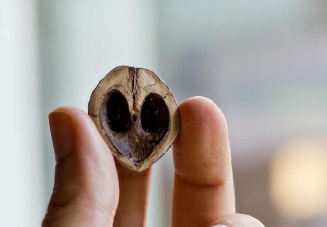 Driftwood walnut