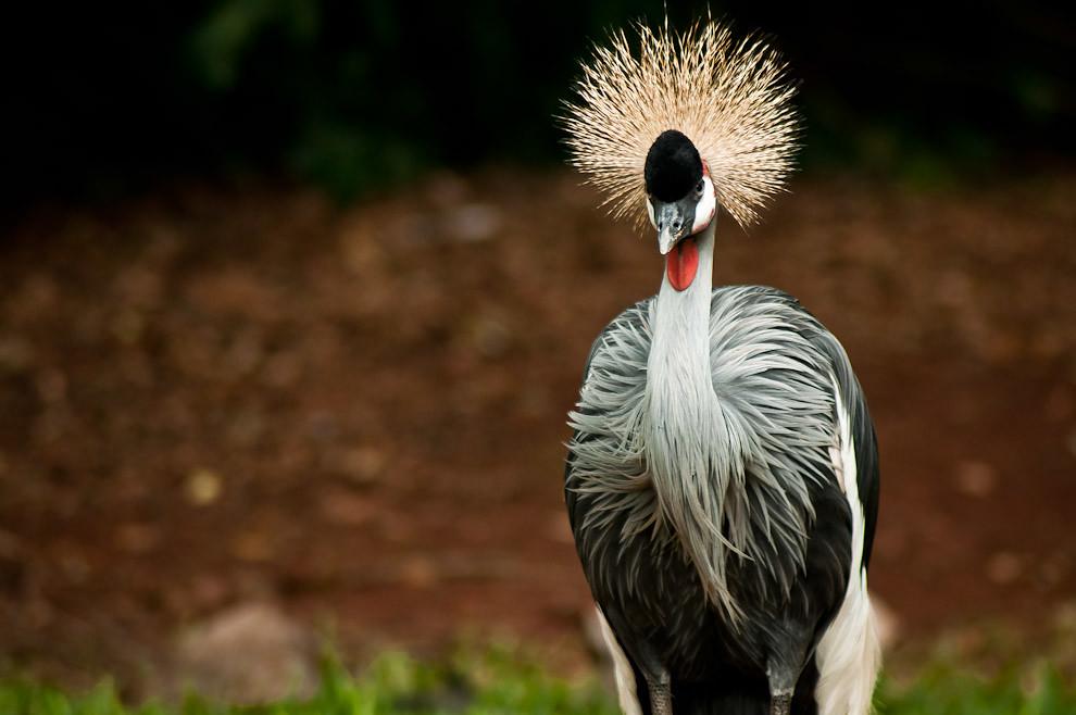 La grulla real gris (Balearica regulorum) es vista en el Parque de las aves en Foz de Iguazú, lugar donde se aprecia todo tipo de aves, desde aquellas correspondientes al territorio local como las de otros lugares de los continentes africano y australiano. (Elton Núñez)