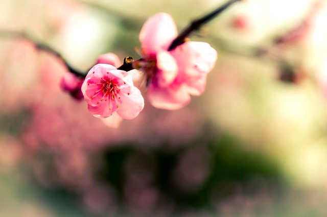 Cherry Blossoms in Spring 2012