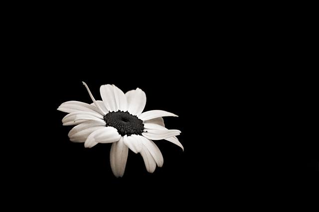 Pinterest Desktop Wallpaper Lotus Quote Daisy In The Dark Pops Digital