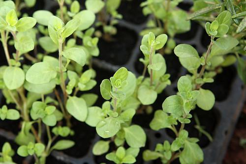 za'atar plants