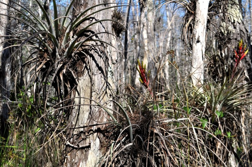 Bromeliads Are Bountiful in the Swamp
