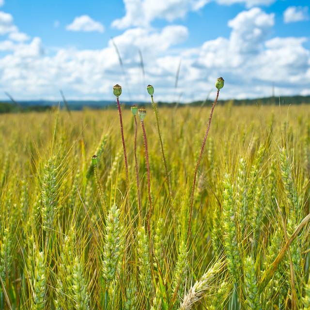 bokeh de blé