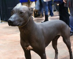 Small Of Hairless Dog Breeds