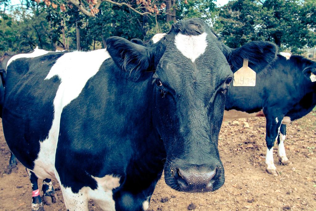 Cows-9314