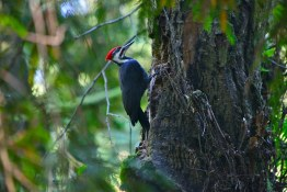 A pileated woodpecker in Pacific Spirit Park