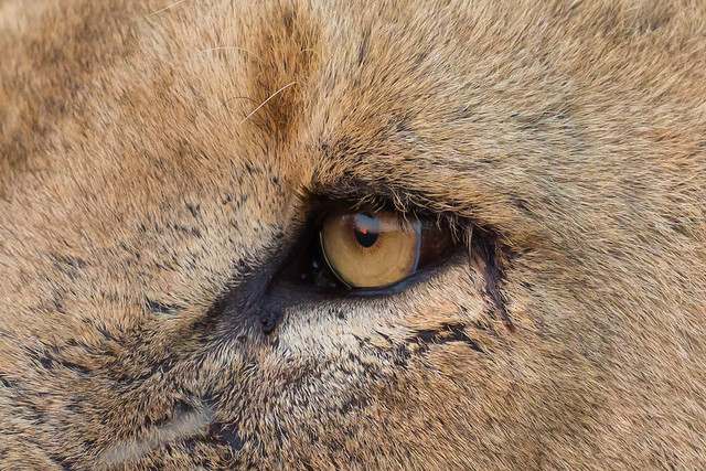 The eye of the lioness (Cropped from the Lioness of Timbavati)