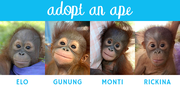 Red Ape Cinnamon - Adopt an Ape