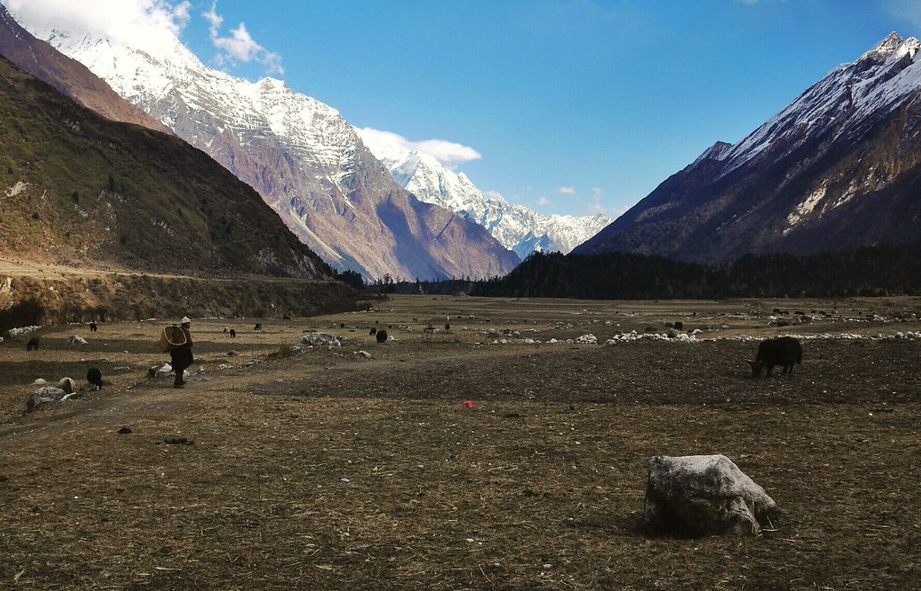 Farmer tends to his yaks