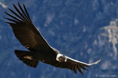 Condor - Arequipa, Peru.