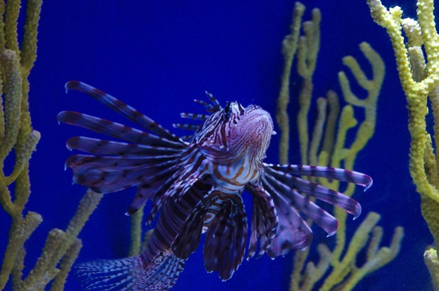 The lion fish