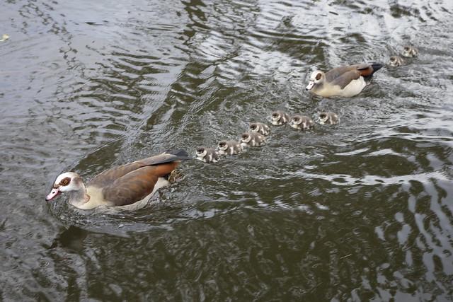 November Ducks _DSC3307