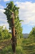 Old Vines Piont Noir Post