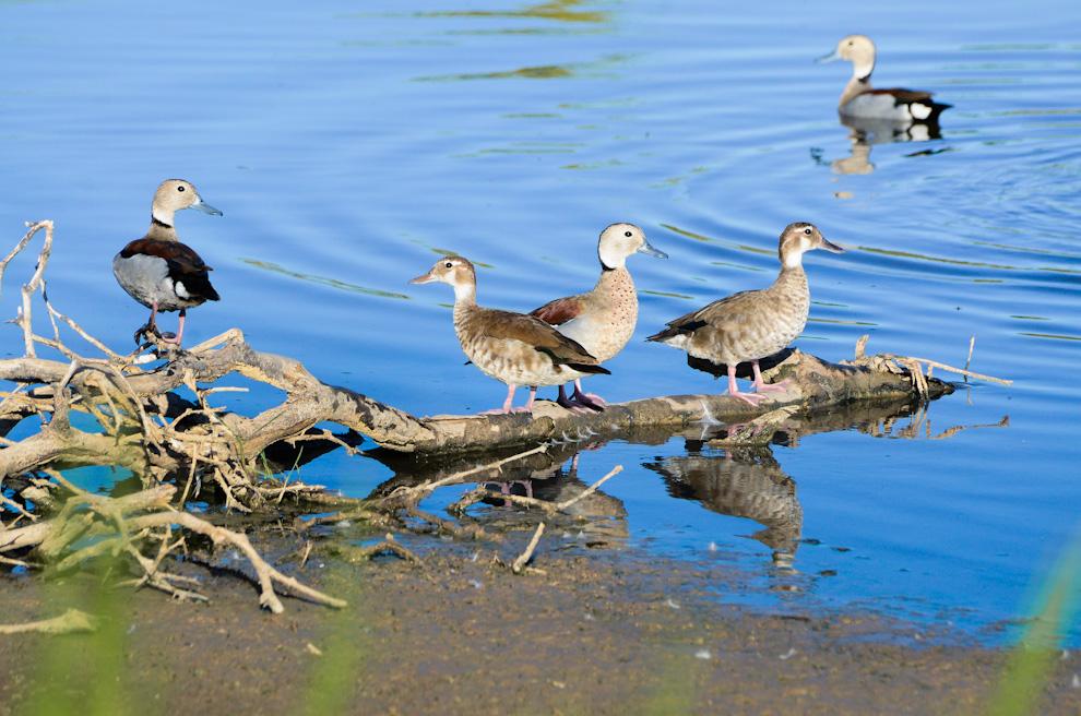 Los patitos arroz son uno de los más frecuentes habitantes de algunas pequeñas lagunas que aún sobran en los campos chaqueños, en la actual temporada de calor y pocas lluvias. (Elton Núñez)