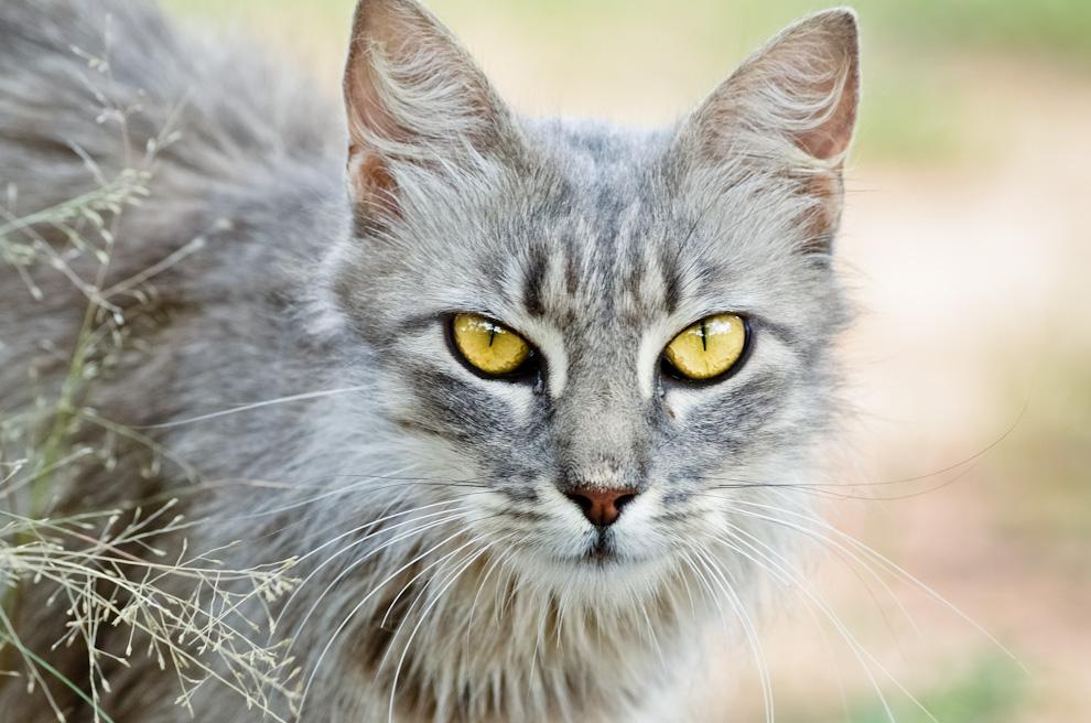 Un gato doméstico nos ha estado visitando tímidamente en el campamento Laguna Capitán, durante nuestra estadía de 3 días. (Elton Núñez)